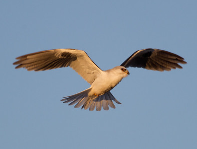 White-tailed Kite  Carlsbad 2013 01 11 (1 of 5).CR2
