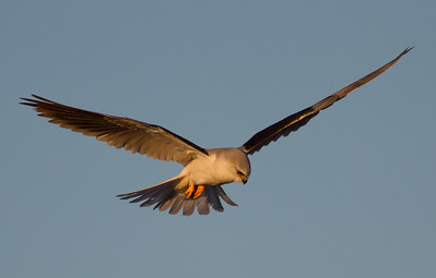 White-tailed Kite  Carlsbad 2013 01 11 (3 of 5).CR2