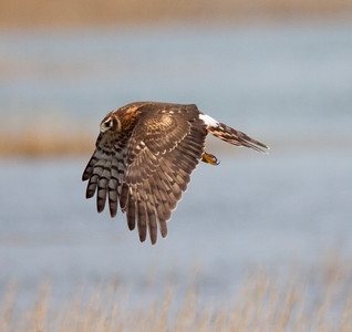 Northern Harrier San Elijo Lagoon 2015 11 26 15-1.CR2