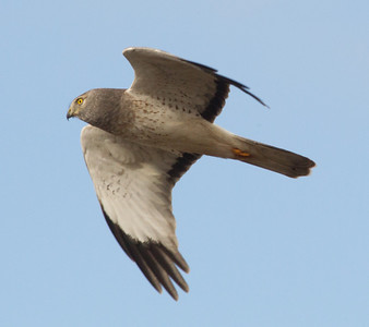 Northern Harrier  San Dieguito Lagoon 2012 12 02 (4 of 7).CR2