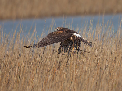 Northern Harrier San Elijo Lagoon 2015 11 26 15-8.CR2