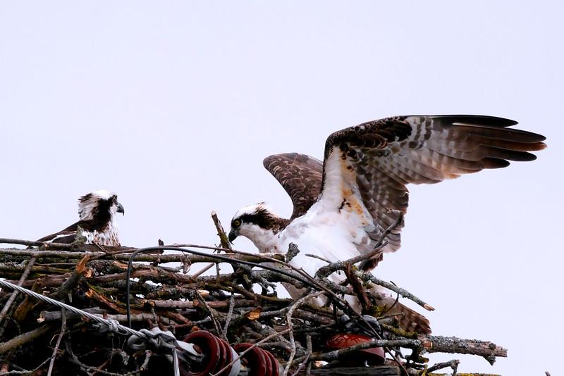 Osprey, Ft. Miller (nest near canal) 4-19-16