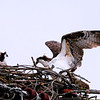 Osprey, Ft. Miller (nest near canal) 4-19-16