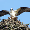Osprey, Rt. 4, Ft. Miller, NY<br /> From nest building to family building!