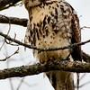 Red-tailedf Hawk, Road to Saratoga Lake, NY 12-21-14