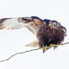 Rough-legged Hawk, Ft. Edward, NY 1-5-14<br /> Signaling Right Turn!!!