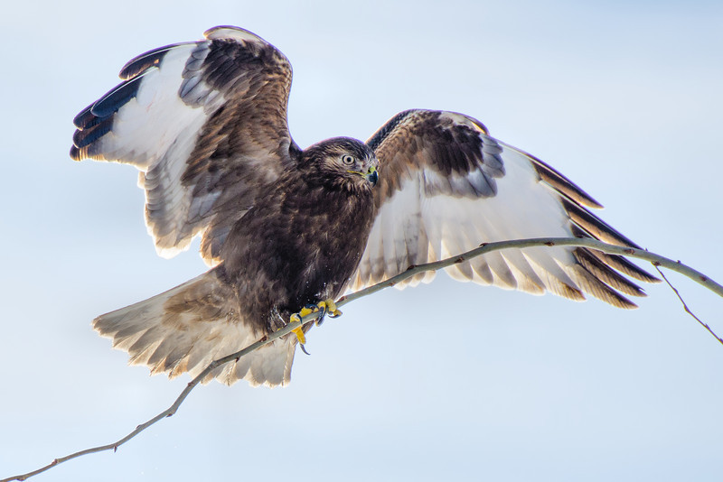 Rough-legged Hawk<br /> Ft. Edward, NY 1-5-14