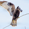 Rough-legged Hawk<br /> Ft. Edward, NY 1-5-14