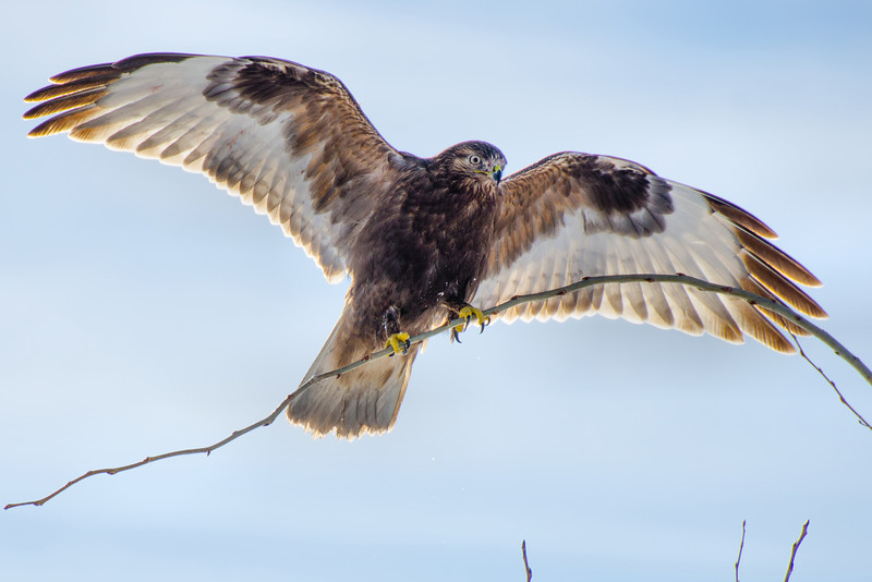 Rough-legged Hawk landing.<br /> Ft. Edward, NY 1-5-14