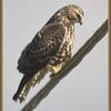 Swainson's Hawk, New Baltimore, NY 10-11-09