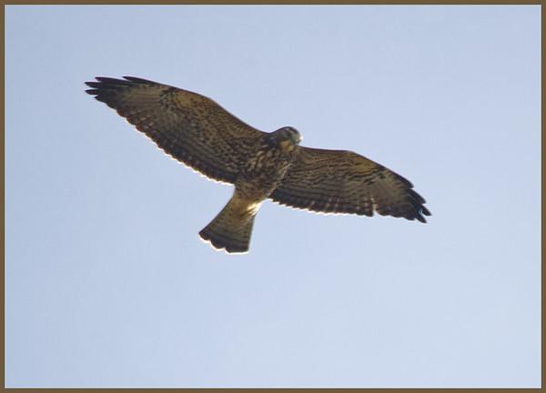Swainson's Hawk, New Baltimore, NY 10-8-09