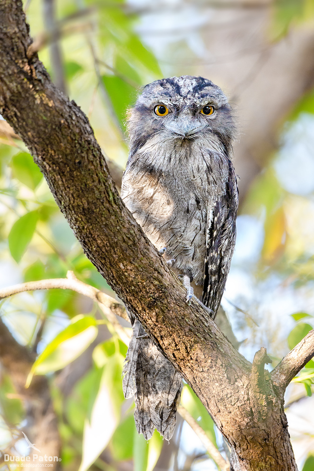 Tawny Frogmouth - Juvenile