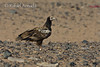Egyptian Vulture (Neophron percnopterus), juvenile. Shalatein (Egypt), July 2008.<br /> Esp: Alimoche<br /> Cat: Aufrany