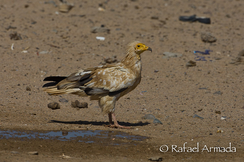 Egyptian Vulture (Neophron percnopterus). Shalatein (Egypt), July 2008.<br /> Esp: Alimoche<br /> Cat: Aufrany