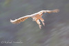 Griffon Vulture (Gyps fulvus). Valderrobles (Teruel, Spain), March 2007.<br /> Esp: Buitre leonado<br /> Cat: Voltor comú