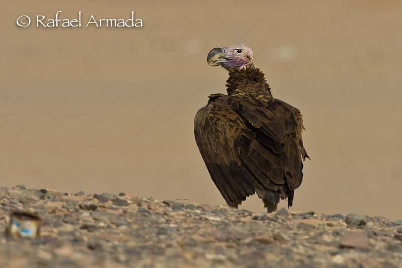 Lapped-faced vulture (Torgos tracheliotus). Shalatein (Egypt), July 2008.<br /> Esp: Buitre orejudo