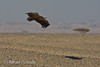 Lapped-faced vulture (Torgos tracheliotus). Shalatein (Egypt), July 2008.<br /> Esp: Buitre torgo