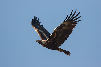Wedge-tailed-Eagle_AGL9931