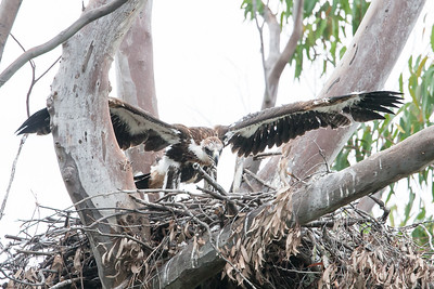 Wedge-tailed-Eagle_0472