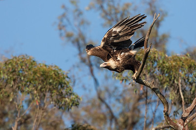 Wedge-tailed-Eagle_AGL9919