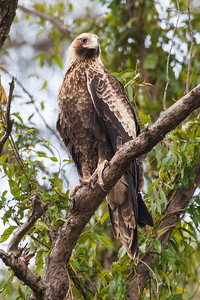 Wedge-tailed-Eagle_X7P5813