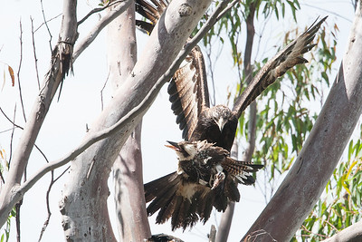 Wedge-tailed-Eagle_0574
