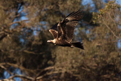 Wedge-tailed-Eagle_AGL9923