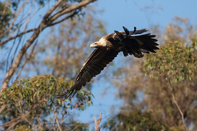 Wedge-tailed-Eagle_AGL9920