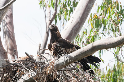 Wedge-tailed-Eagle_0585