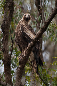 Wedge-tailed-Eagle_X7P5769