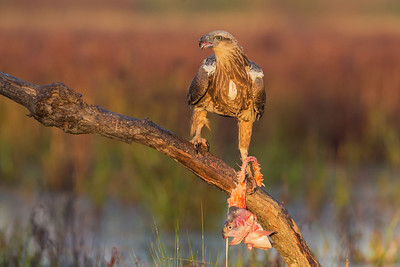 White-bellied-Sea-Eagle_0745