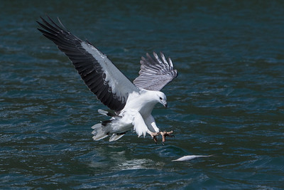 White-bellied-Sea-Eagle-0S1A0499