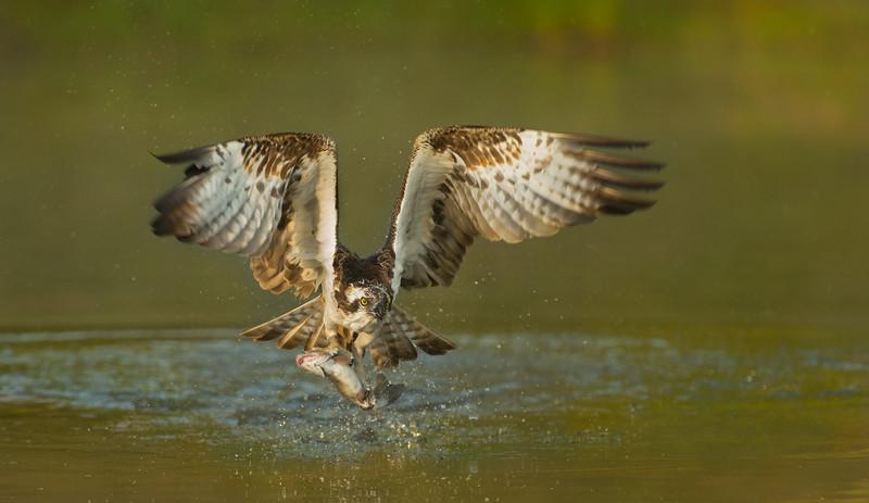 Osprey (Pandion haliaetus)