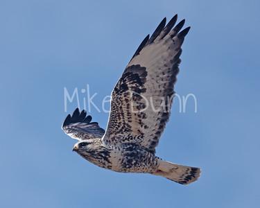 Rough-legged Hawk-35
