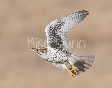 Prairie Falcon-52