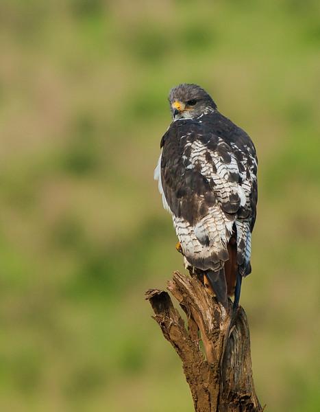 Augur buzzard (Buteo augur)