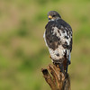 Augur buzzard (Buteo augur)
