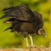 1 Black Vulture in Illinois