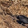 Black Vulture at Big Oaks National Wildlife Refuge Eating Carrion