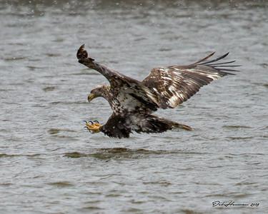 Missed, Immature Eagle