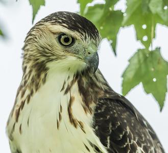 Retailed Hawk 4