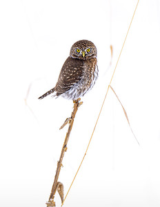 Northern Pygmy Owl perched in a snowy field