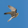 Lanner falcon (Falco biarmicus)