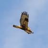 Rough Legged Hawk 2