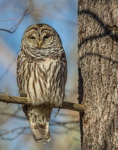 Owl at Half-Mast