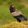 Bateleur eagle  (Terathopius ecaudatus)