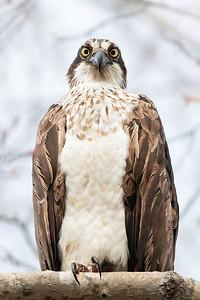 Osprey stare