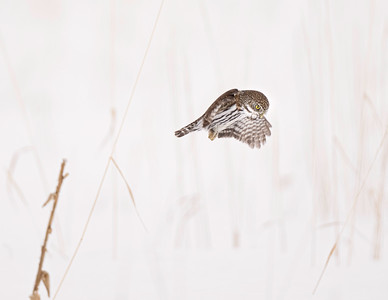 Northern Pygmy Owl hunting in a snowy field