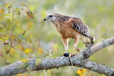 Red Shouldered Hawk eating a frog - Orlando Wetlands Park