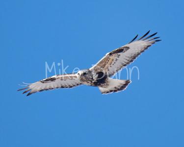 Rough-legged Hawk-23